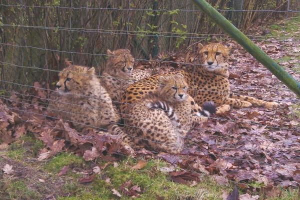 Allwetterzoo Münster Familienausflug Eltern Kinder Großeltern Ausflugstipp Reiseblog Attraktion Freizeitpark Geparden Leoparden Raubkatzen Freizeit