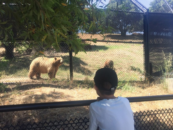 Kalifornien Braunbär Oakland Zoo