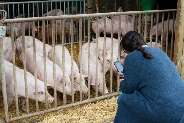 Hof Ontrup-Münster-Schweine-Deutsches Landschwein-Iberico-Duroc-Münstermama