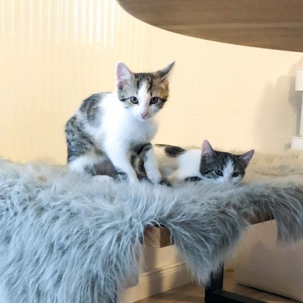 Zwei Kitten auf Fell in Münster